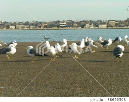 銚子漁港のウミネコと大型カモメ 38666508
