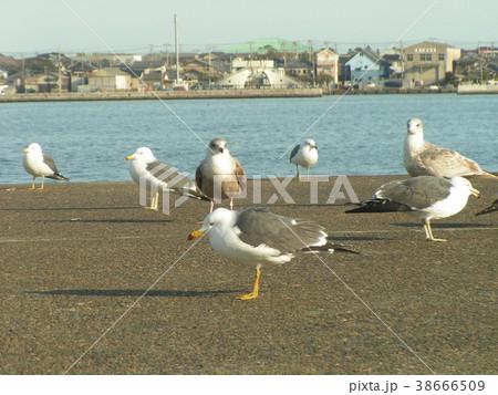 銚子漁港のウミネコと大型カモメ 38666509