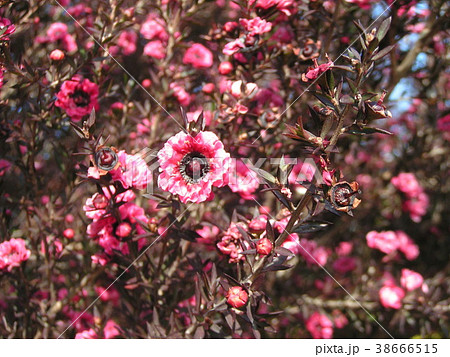 桃色の可愛い花はギョリュウバイ 38666515