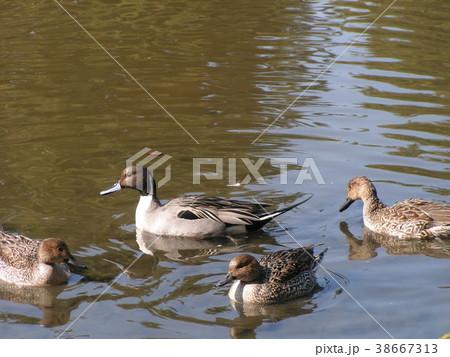 稲毛海浜公園に来ている冬の渡り鳥オナガガモ 38667313
