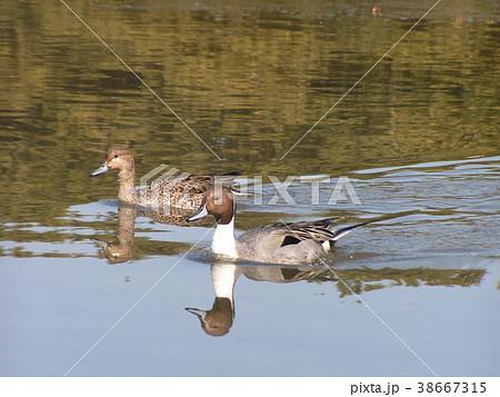 稲毛海浜公園に来ている冬の渡り鳥オナガガモ 38667315