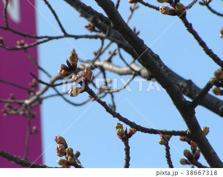 二月の青空に桃色のカワヅザクラの蕾 38667318