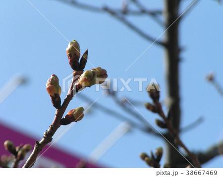 二月の青空に桃色のカワヅザクラの蕾 38667469