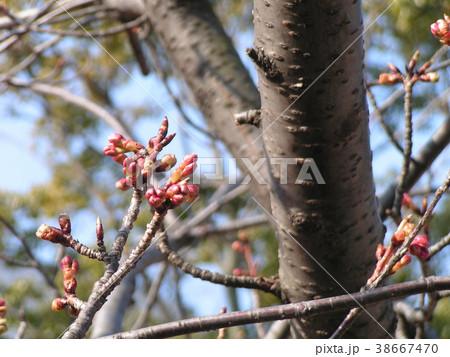 二月の青空に桃色のカワヅザクラの蕾 38667470