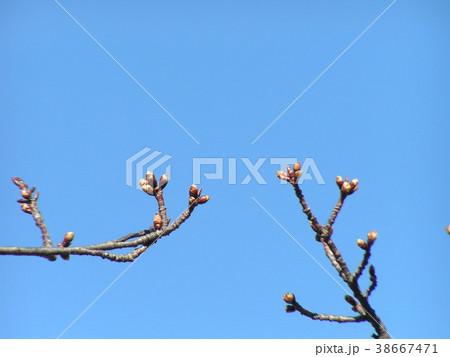二月の青空に桃色のカワヅザクラの蕾 38667471