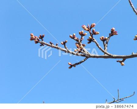 二月の青空に桃色のカワヅザクラの蕾 38667474