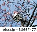 咲き始めたカワヅザクラの桃色の花 38667477