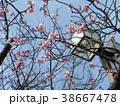 咲き始めたカワヅザクラの桃色の花 38667478