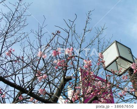 咲き始めたカワヅザクラの桃色の花 38667650