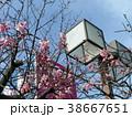 咲き始めたカワヅザクラの桃色の花 38667651