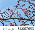 咲き始めたカワヅザクラの桃色の花 38667653