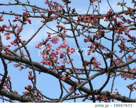咲き始めたカワヅザクラの桃色の花 38667655