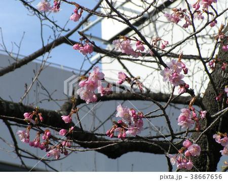咲き始めたカワヅザクラの桃色の花 38667656