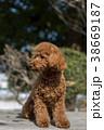犬 動物 小型犬の写真 38669187