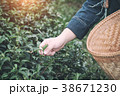 Agriculture Hand picking up organic tea leaves. 38671230