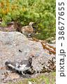 立山 みくりが池の雷鳥の番い 38677655
