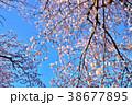 桜 ソメイヨシノ 春の写真 38677895
