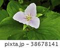 北海道のエンレイソウ 38678141