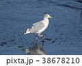 鳥 かもめ 鳥類の写真 38678210