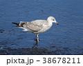 鳥 かもめ 鳥類の写真 38678211