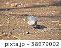 キジバト ハト 野鳥の写真 38679002