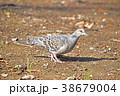 キジバト ハト 野鳥の写真 38679004
