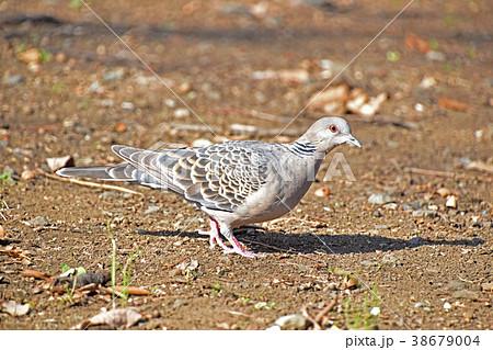 キジバト(雉鳩) 38679004