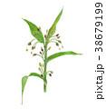 ハトムギ 植物 水彩のイラスト 38679199