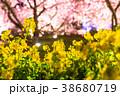 河津桜 春 菜の花の写真 38680719