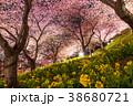 春 菜の花 夜桜の写真 38680721
