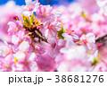 桜 河津桜 花の写真 38681276