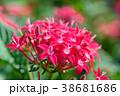 ペンタス 花 花びらの写真 38681686