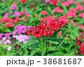ペンタス 花 花びらの写真 38681687