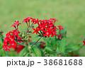ペンタス 花 花びらの写真 38681688