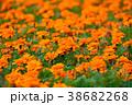 マリーゴールド 花 オレンジ色の写真 38682268