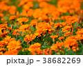 マリーゴールド 花 オレンジ色の写真 38682269