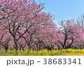 春 花桃 菜の花の写真 38683341