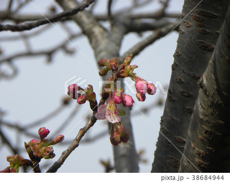 咲き始めた稲毛海岸駅前カワヅザク 38684944
