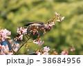 桜 野鳥 花の写真 38684956