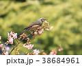 桜 野鳥 花の写真 38684961