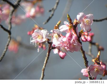 開花した稲毛海岸駅前のカワヅザク 38686111