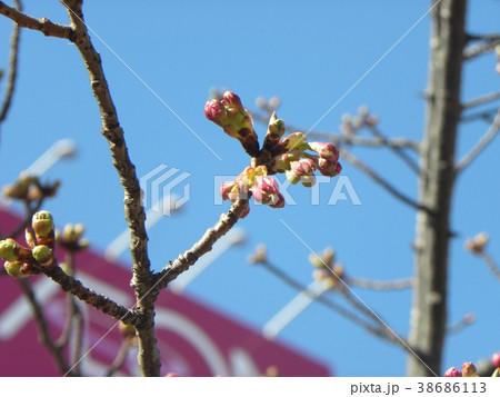 もう直ぐ開花する稲毛海岸駅前のカワヅザクの蕾 38686113