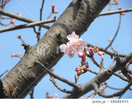 開花した稲毛海岸駅前のカワヅザク 38686445