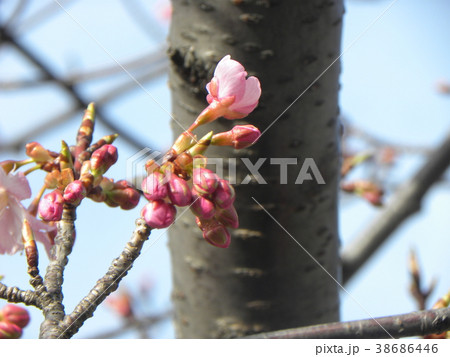 開花し始めたカワヅザクラ 38686446