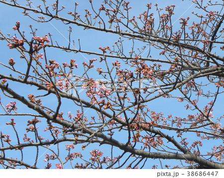 開花し始めたカワヅザクラ 38686447