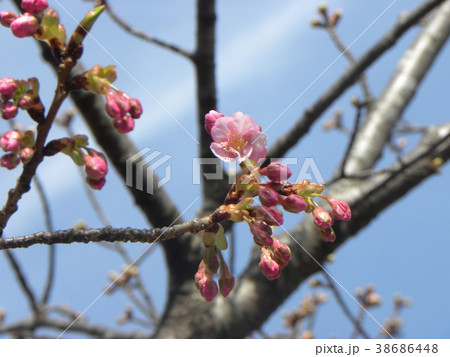 開花し始めたカワヅザクラ 38686448