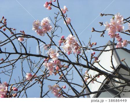 開花した稲毛海岸駅前のカワヅザク 38686449