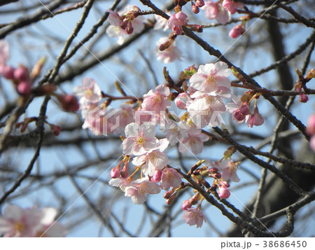 開花した稲毛海岸駅前のカワヅザク 38686450