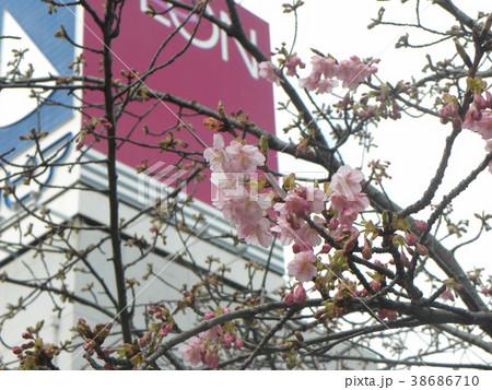 開花した稲毛海岸駅前のカワヅザク 38686710
