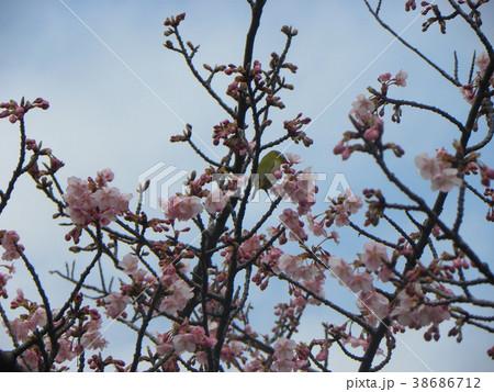 開花した稲毛海岸駅前のカワヅザクとメジロ 38686712
